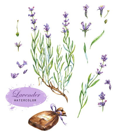 Hand-drawn botanical illustration of the lavender. Aromatic Provence plant. Flowers, leaves, branches drawings, isolated on the white background. Stock Photo