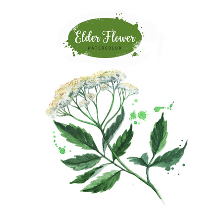 Hand drawn watercolor elder flower branch illustration. Painted sketch isolated on white background