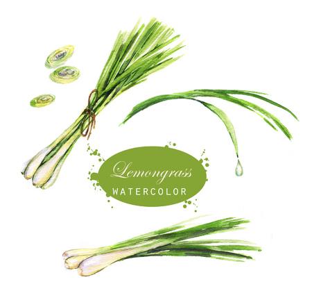 Disegni di citronella disegnati a mano ad acquerello. Illustrazione di erbe cibo naturale eco isolato su sfondo bianco