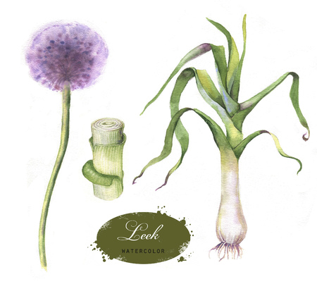Hand drawn watercolor illustration of the leek isolated on the white background. Botanical onion drawing. Allium porrum