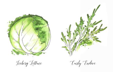 Hand drawn  salad leaf, fresh iceberg lettuce and curly endive salad isolated on the white background.  illustration Stockfoto