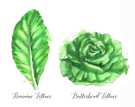 Hand drawn  salad leaf, fresh romaine lettuce and butterhead lettuce isolated on the white background.  illustration
