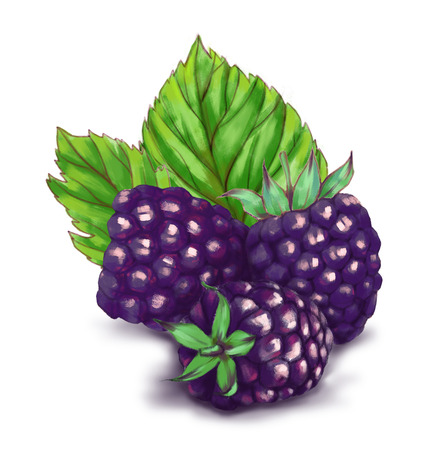 Hand drawn watercolor illustration of the food: ripe tasty blackberries, isolated on the white background