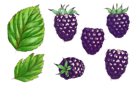 Hand drawn watercolor illustration of the healthy food. Set blackberries isolated on the white background
