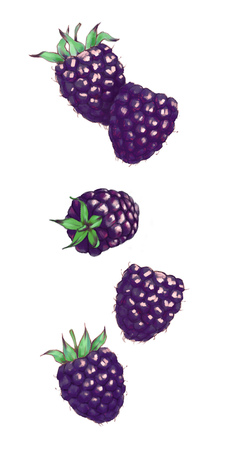 Hand drawn watercolor illustration of the food: ripe tasty flying blackberries, isolated on the white background Reklamní fotografie