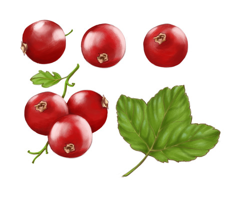 Hand drawn watercolor illustration set of the food: ripe tasty red currants, isolated on the white background