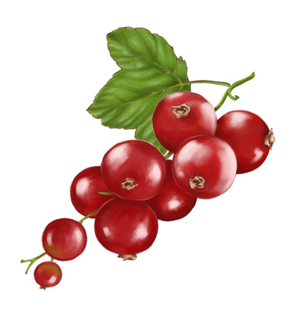 Hand drawn watercolor illustration of the food: ripe tasty red currant branch, isolated on the white background Reklamní fotografie