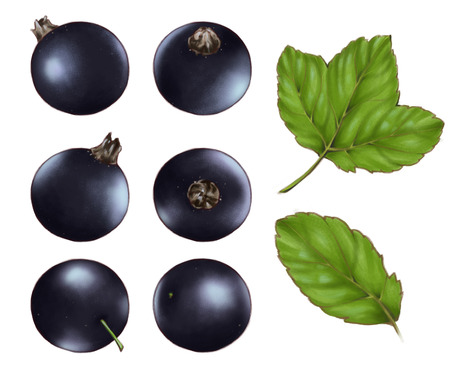 Hand drawn watercolor illustration set of the food: ripe tasty black currants, isolated on the white background