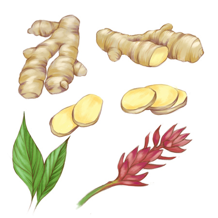 Hand Drawn watercolor ginger collection isolated on the white background. Illustration set for food design.