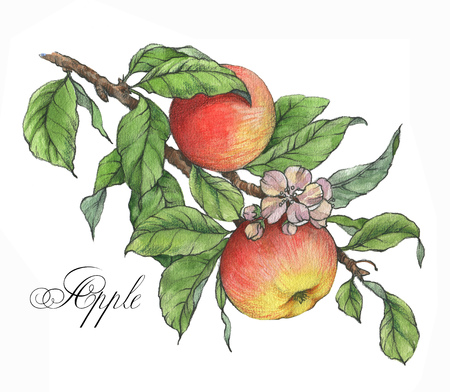 Hand drawn watercolor artistic illustration of the sweet ripe red and  yellow apples on the branch. Drawing of the tasty fresh healthy food. Isolated clip art. Apple fruits and leaves Reklamní fotografie
