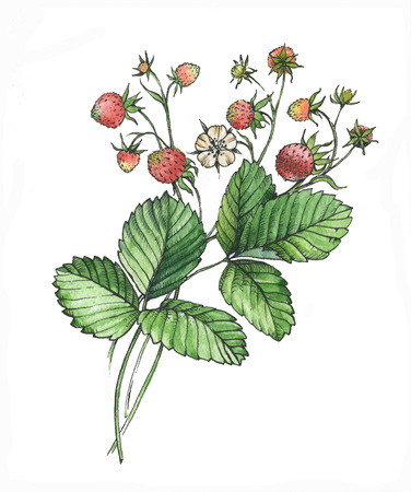 Hand drawn watercolor illustrations with decorative strawberries isolated on the white background Reklamní fotografie