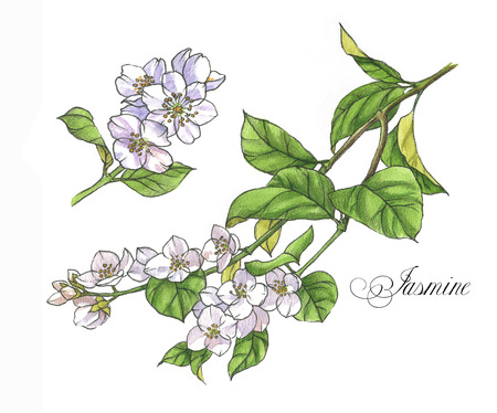 Hand-drawn watercolor illustration of the jasmine. Botanical drawing isolated on the white background: jasmine, blossom, leaves, flowers and branches. Stock Photo