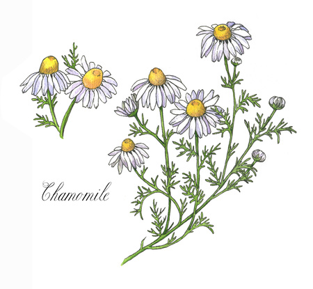 Hand-drawn watercolor botanical illustration of the chamomile plant, flowers, leaves and root. Chamomile drawing isolated on the white background. Medical herbs illustration, herbarium - Illustration Reklamní fotografie
