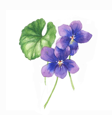 Hand-drawn watercolor illustration of the isolated violets flowers. Tender spring drawing flowers on the white background - Illustration Foto de archivo