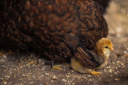 motherly: Little chick protected by mother