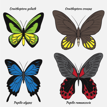 Big realistic collection of colorful butterflies. Ornithoptera croesus and goliath, papilionidae rumanzovia and ulysses, summer flying insects set for greeting cards and  scrapbook