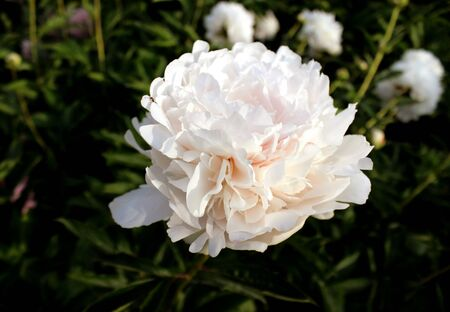 Peony close up similar. White beige flowers garden botany on a background of green leaves