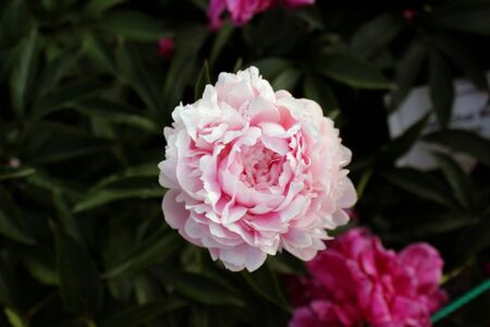 Peony close up similar. Pink beige flowers garden botany on a background of green leaves Banco de Imagens
