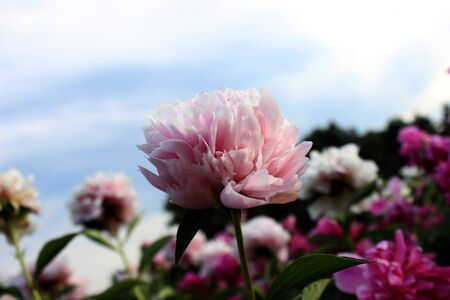 Peony close up similar. Pink beige flowers garden cloudy sky