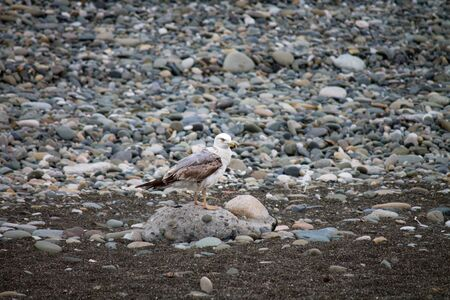 Seagull sits on a rocky seashore. White bird on a stone on the beach. Selective focus