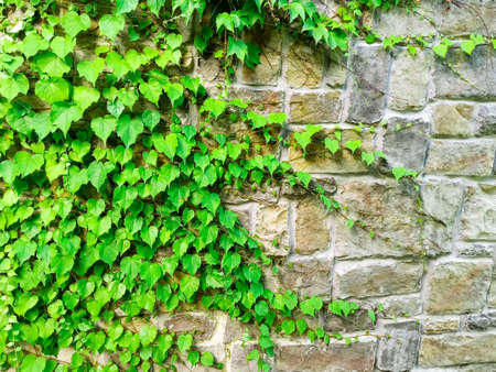 Sochi, Russia, 20 june 2020. The plant weaves along the wall of the rocky brick wall of the castle in Sochi Park. Quarantine coronavirus. No people. Recreation area. City attraction. High quality photo