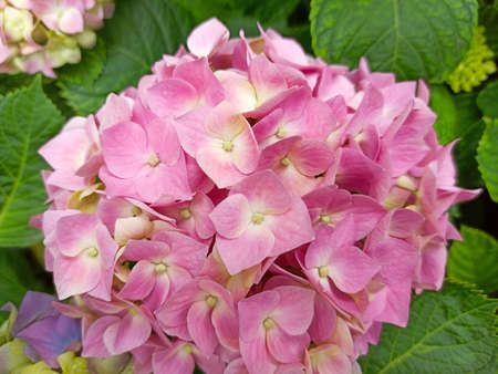 Pink flowers of hydrangea close-up. Natural hydrangea flowers background. Hydrangea macrophylla - Beautiful bush of hortensia flowers