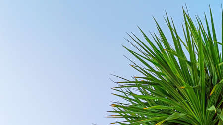 Palm leaves on blue sky background. Leaves of palm tropical large clan. The concept of summer rest and relaxation