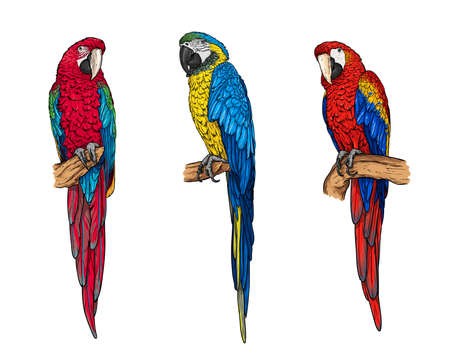 Tropical parrots collection. Macaw ara isolated on the white background. Vector illustration