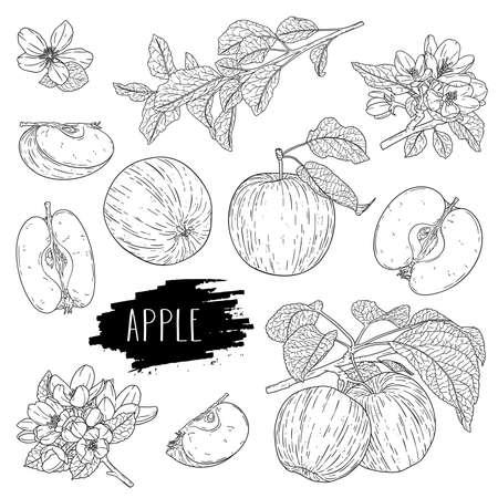 Natural fruit apple set. Hand drawn whole apple, half, flower, branch and leaves. Design for shop, book, menu, banner. Outline ink style sketch. Vector coloring illustration.