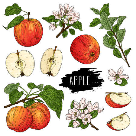 Hand drawn natural fruit set of whole apple, half, flower, branch and leaves isolated on white background with label. Design for shop, market, book, menu, poster, banner. Vector sketch illustration Çizim