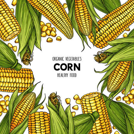 Vector hand drawn frame with ripe corn cobs and grain. Natural cereal illustration
