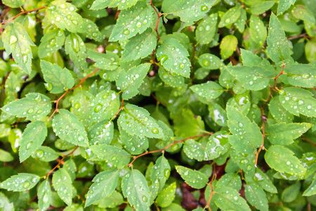 Background from bright green leaves covered with a lot of raindrops Stockfoto