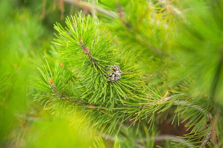 green spruce branches with a young pine cone background