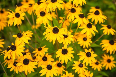 bright yellow flowers in foliage in a park background 写真素材 - 138838084