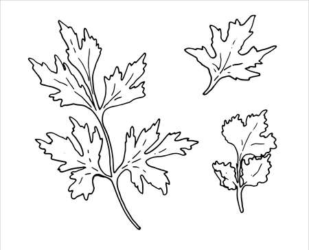 Hand drawn parsley branch with leaves isolated on white. Hand drawn spicy herbs. Doodle cooking ingredient for design. Hand drawn seasoning. Vector illustration
