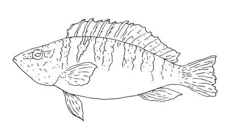 Ink sketch of perch bass. Hand drawn illustration of river perch. Vector. Ink sketch of the perch Serranus scriba hand-drawn black outline on a white background. Hand drawn vector illustration of a river bass isolated element for a design template