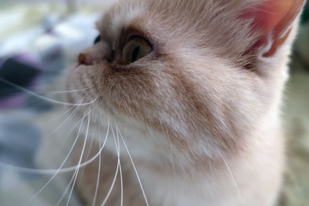 beautiful red fluffy cat of exotic breed