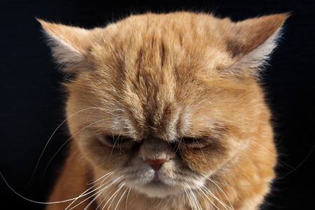 Sad and guilty Red cat bowed his head against a black background close-up Stock Photo