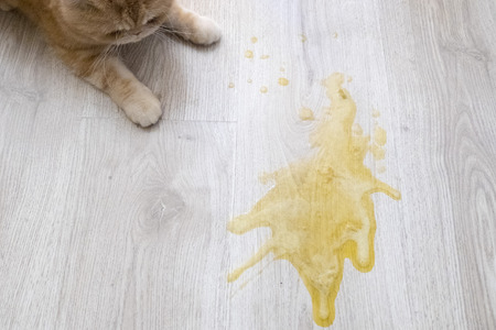 Yellow vomit on a light wooden floor and a cat Banco de Imagens
