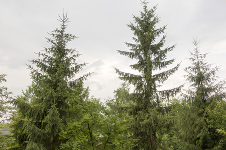 Green high coniferous trees on a background of the sky