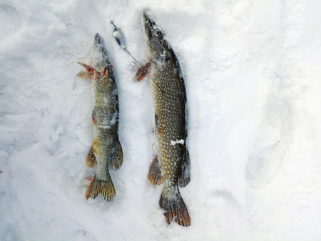 Winter fishing for spinning, two pikes are located on the snow.