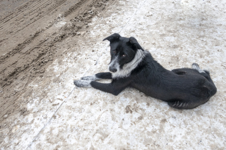 A stray street black and white dog, thin, close-up in winter.