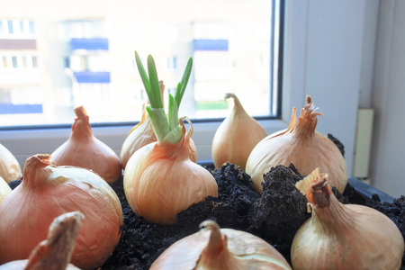 The concept of growing green onions on the windowsill at home