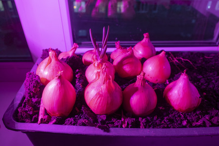 The concept of growing green onions on the windowsill at home and the special light from the fitolam for plants