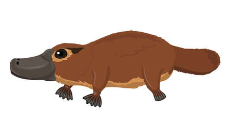 Australian brown platypus, duck bill, ornithorhyncus standing in profile isolated on white background, vector clipart