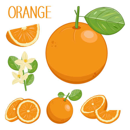Drawn tropical fruits of oranges, orange`s flowers and leaves, pieces and slices of oranges in different angles, the isolated vector collection, cartoon herbarium set. Иллюстрация