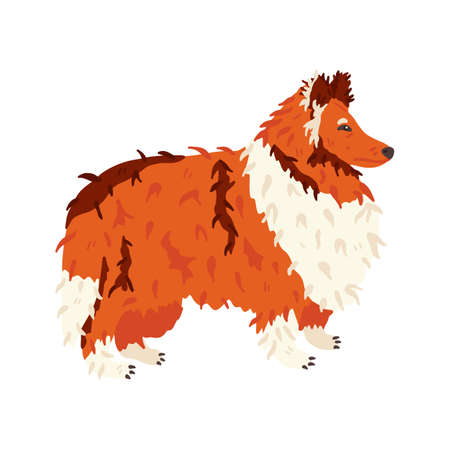 Collie long haired breed dog flat vector illustration. Grooming fan and pet care concept. Red, white and brown fur. Cute animal. For social networks stickers, online encyclopedia, guide, vet manual.