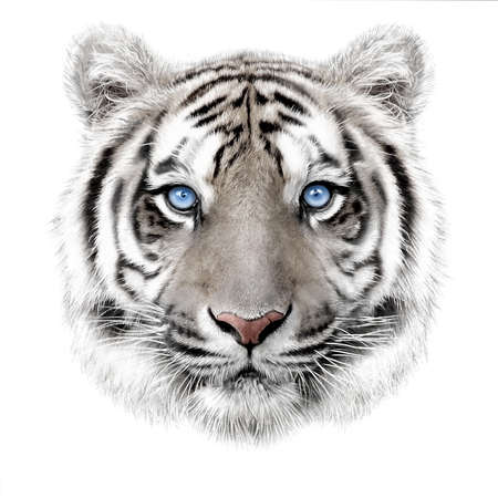 hand-drawing portrait of a white bengal tiger with blue eyes isolated on white background