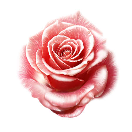 rose flower on white background, watercolor Stok Fotoğraf