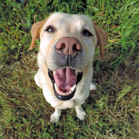 Smiling golden labrador retriever from a top view on a grass background. Sits and looking at camera. Stock Photo